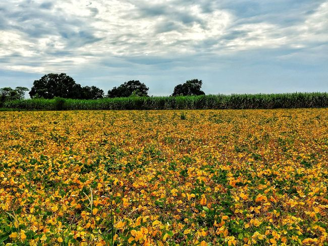 sky EyeEmNewHere Soyabean Flower Tree Rural Scene Agriculture Field Flower Head Sky Cloud - Sky Cultivated Land Cereal Plant Agricultural Field