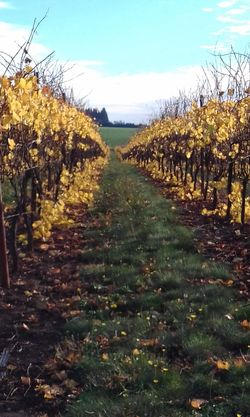 Agriculture Outdoors Scenics Growth Nature Tranquility Rural Scene Beauty In Nature Winemaking No People Autumn