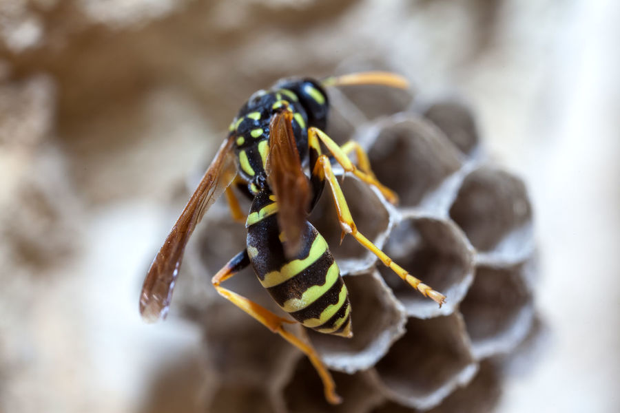 Paper Wasp building Nest Macro Photography Nesting Paper Wasp Animal Themes Animal Wildlife Animals In The Wild Bee Close-up Day Focus On Foreground Insect Macro Nature Nest No People Oculii One Animal Outdoors Paper Wasp Nest