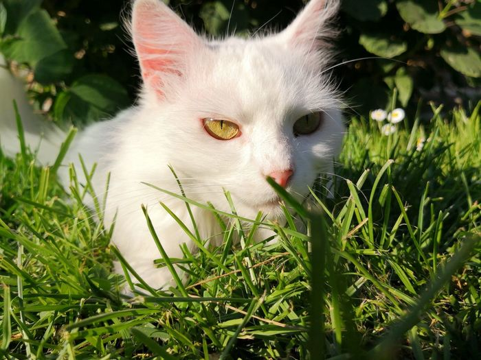 White beautiful cat on green grass White Cat Green Grass Cat Outside Cat Outdoors Pets Portrait Feline Domestic Cat Looking At Camera Whisker Close-up Grass Blooming Yellow Eyes Cat At Home Protruding Animal Eye Kitten Growing Tabby Home Alertness Tabby Cat HEAD Sleepy