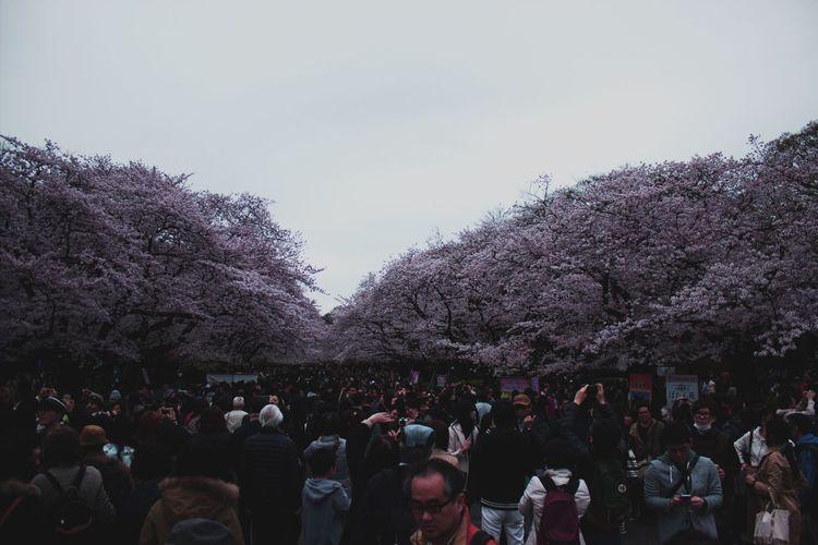 桜花 桜 上野公園 上野 Uenopark Ueno サクラ Sakura Blossom Sakura Trees Sakura2016 Sakura Japan Canonphotography Cherry Cherryblossom Ultimate Japan