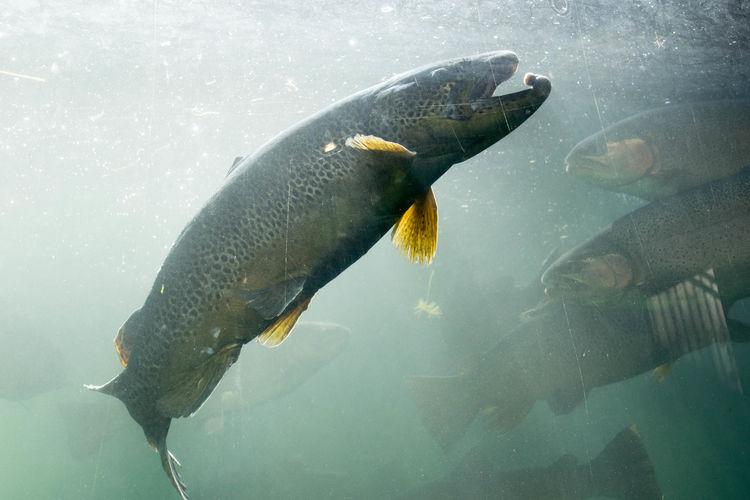Close-up of rainbow trouts swimming in tank at aquarium