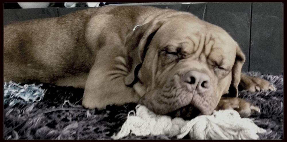 Bordeauxdogge Love Sleeping Sleeping Beauty