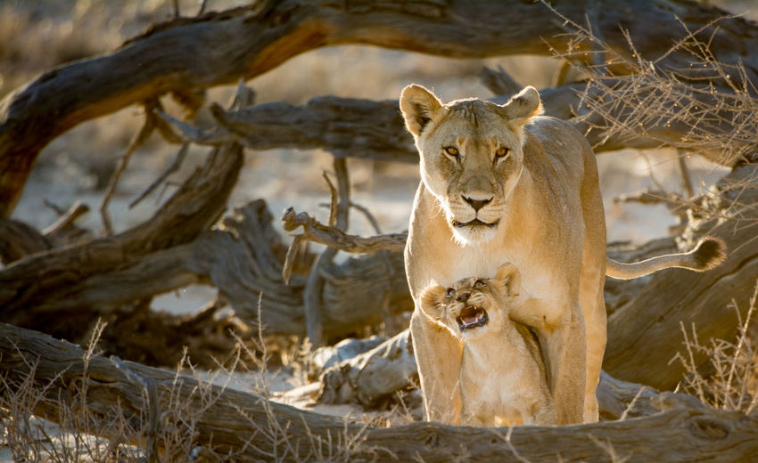 Are you there mom? Animal Themes Animal Wildlife Animals In The Wild Cute Day Desert Beauty Desert Landscape Kalahari Lion - Feline Lion Cub Lioness Mammal Nature No People One Animal Outdoors Portrait Wildlife Wildlife Photography The Great Outdoors - 2017 EyeEm Awards