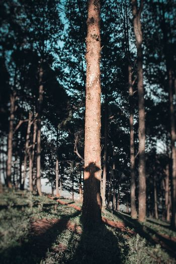 Shadows X Forest X Sunset Photography EyeEm Best Shots Visual Creativity Abstract Shadow Tree Forest Tree Trunk Tree Area WoodLand Pinaceae Sky Woods Focus On Shadow Long Shadow - Shadow Capture Tomorrow