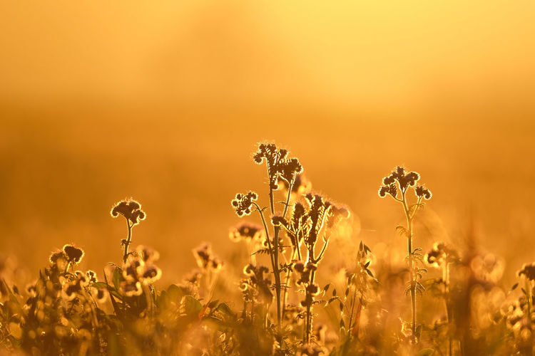 Flowering plants on field against sunligt during sunset. beautiful glowing warm golden background.