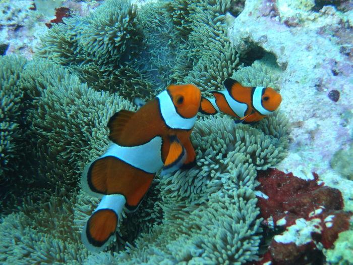 ニモ Underwater Diving Sea クマノミ Anemone Anemonefish