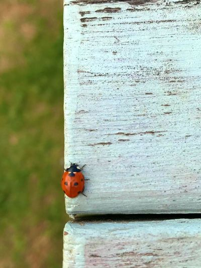 the only ladys who bug me in pubs these days... Coccinella Septempunctata Seven Spot Ladybird Ladybird Black Animal Wildlife Ladybug Insect Animal Invertebrate Animal Themes Beetle Animals In The Wild One Animal No People Wood - Material Day Close-up Spotted Textured  Outdoors Red