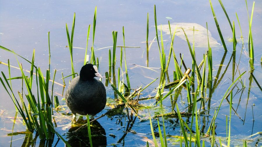 Coot perching amidst grass on lakeshore