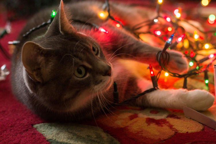 A portrait of a cat tangled in Christmas lights. Animal Animal Themes Bokeh Cat Christmas Christmas Decoration Christmas Lights Christmas Tree Close-up Depth Of Field Domestic Animals Domestic Cat Feline Focus On Foreground Illuminated Indoors  Light And Shadow Mammal Pet Pets Portrait
