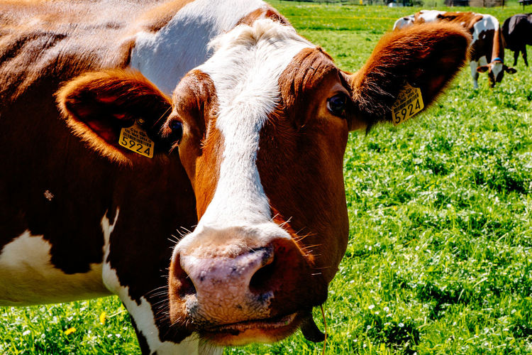 Close-Up Portrait Of Cow On Grassy Field