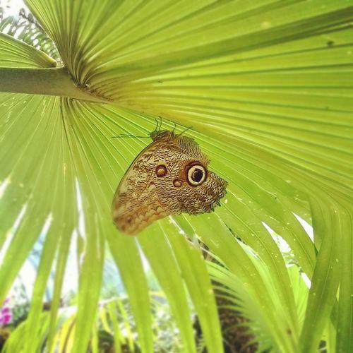 EyeEmNewHere Butterfly Schmetterling Schmetterlinghaus Butterflyhouse Palm Leaf Macro