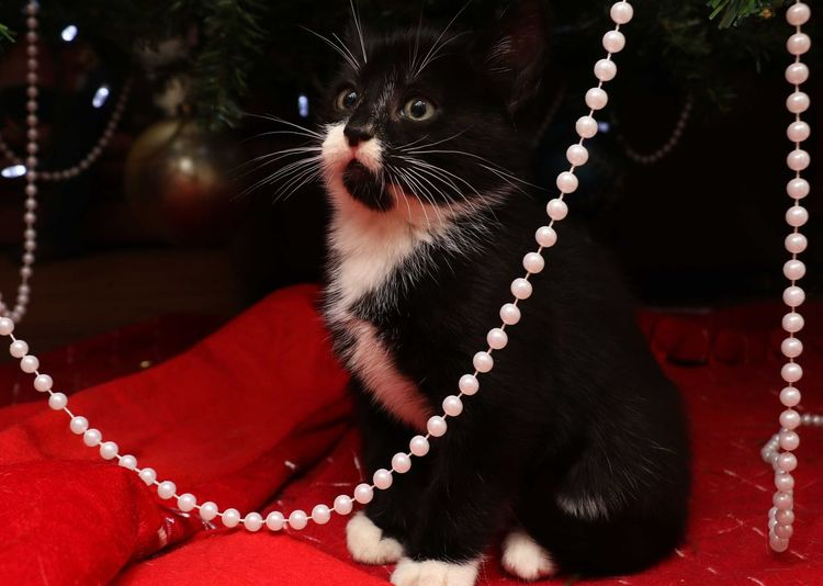 Kitten Nature Pets Christmas Tree Chrristmas Christmas Ornament Baby Animal Baby Cat Close-up No People Indoors  Animal Themes Day Mammal Beard Monkey Business Beauty In Nature One Animal Pampered Pets Domestic Animals Majestic Hello World Colour Of Life