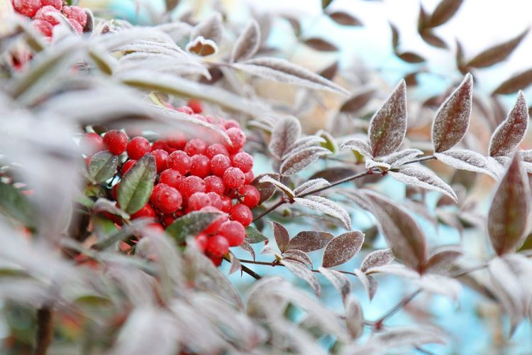 Close-Up Of Berries On Plant