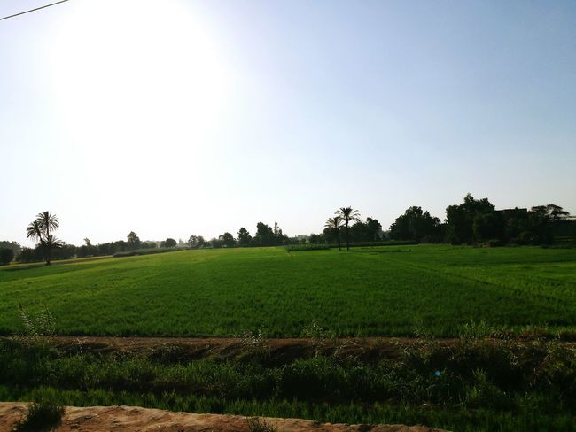 Field Egypt Tree Agriculture Beauty In Nature Nature Landscape Sun Tranquility Outdoors No People Freshness Sky Rural Scene Grass Day