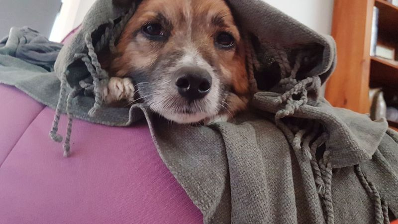 Poser K-9 Mornington Peninsula Peaceful EyeEm Selects Pets Portrait Dog Looking At Camera Pet Clothing Textile Close-up Mixed-breed Dog Canine Pampered Pets