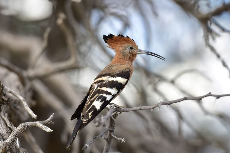 African Hoopoe, Kgalagadi Hoopoe Bird Animals In The Wild Animal Themes Animal Wildlife Animal Perching Branch Nature Tree Beauty In Nature Day Wildlife Wildlife & Nature Wild Wildlife Photography Kgalagadi Transfrontier Park South Africa Safari Animals Safari Animals In The Wild Beauty In Nature Beautiful EyeEm Nature Lover Nightphotography