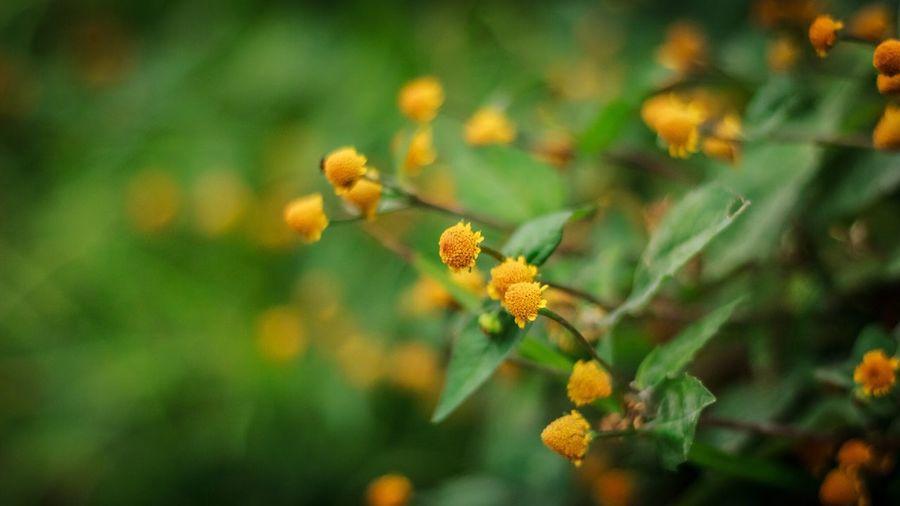 Y (h) e l l o (w) Nature Flowers Thailand Thailand_allshots Canon550D Canon