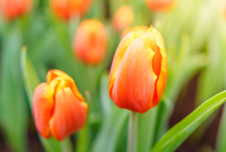 Orange Tulip Beauty In Nature Blooming Close-up Day Flower Flower Head Fragility Freshness Growth Nature No People Orange Color Outdoors Petal Plant Tulip