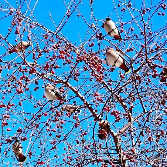Waxwings Apple Blue Sky