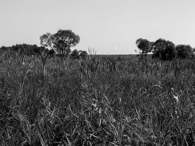 Beauty In Nature Black And White Black And White Collection  Black And White Photography Clear Sky Day Field Grass Grassy Growth Nature No People Non-urban Scene Outdoors Plant Rural Scene Scenics Solitude Springtime Tranquil Scene Tranquility Tree Uncultivated New Talent Monochrome Photography