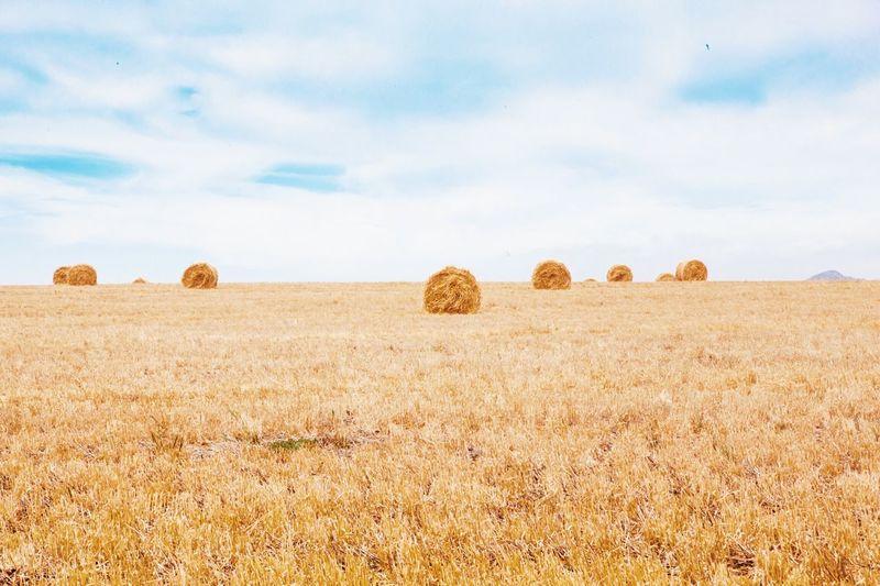 Haybales in field
