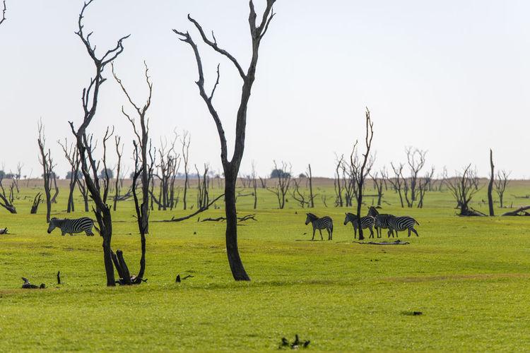 Flock of zebra grazing in field
