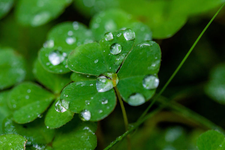 Drop Water Wet Green Color Plant Leaf Plant Part Close-up Freshness Growth Nature Rain Beauty In Nature No People RainDrop Dew Selective Focus Outdoors Clover Purity Leaves Rainy Season EyeEmNewHere