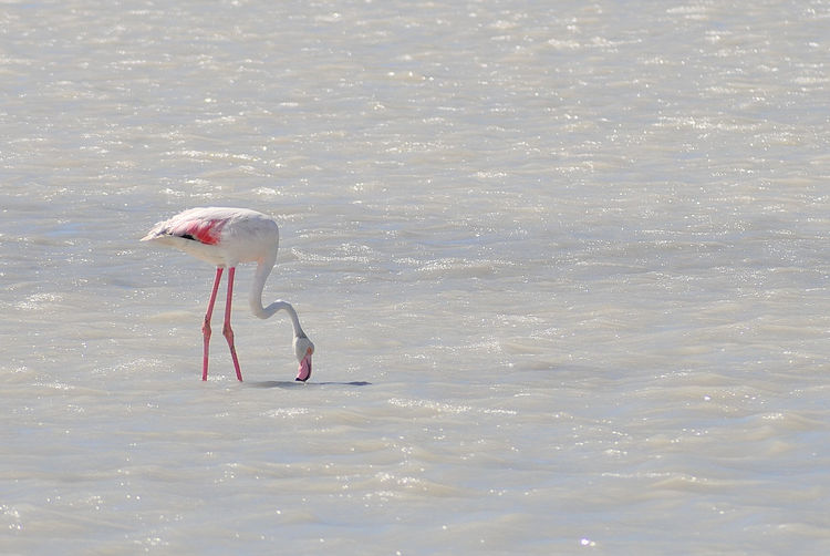 Flamingo Animal Themes Animal Wildlife Animals In The Wild Beauty In Nature Fenicotteri Di Sardegna Flamingo Flamingos From Sardinia Nature No People One Animal Reflection Sardinia Sunlight Water Waterfront EyeEmNewHere