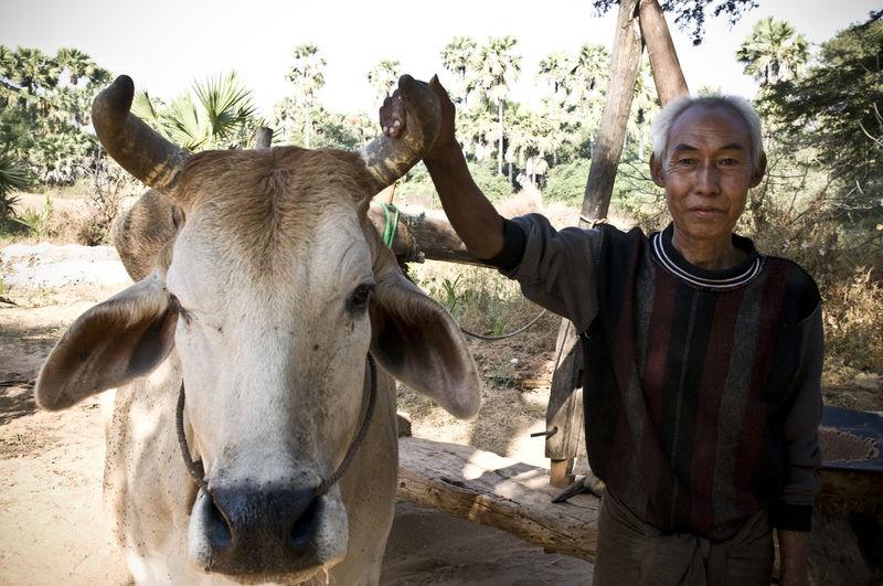 Burma Casual Clothing Cattle Cattlefarm Day Everyday Lives EyeEm Best Edits EyeEm Best Shots EyeEm Nature Lover EyeEm Portraits Farmer First Eyeem Photo Lifestyles Livestock Mammal Myanmar Nature Outdoors Portrait Relaxation Sky