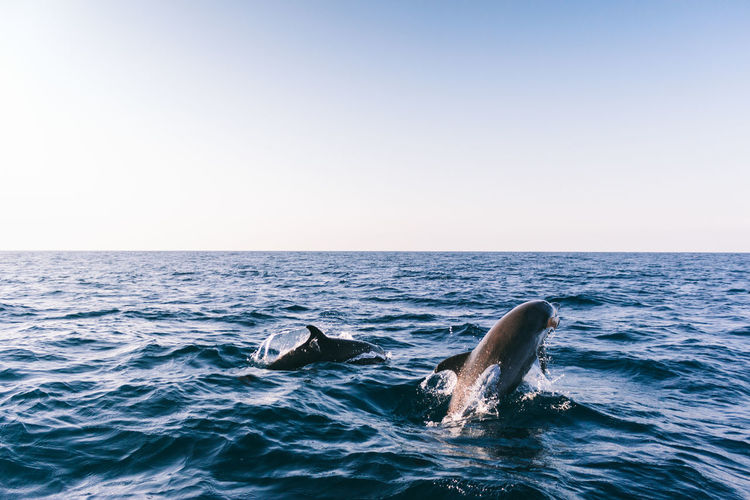 Scenic View Of Dolphins In Sea Against Clear Sky