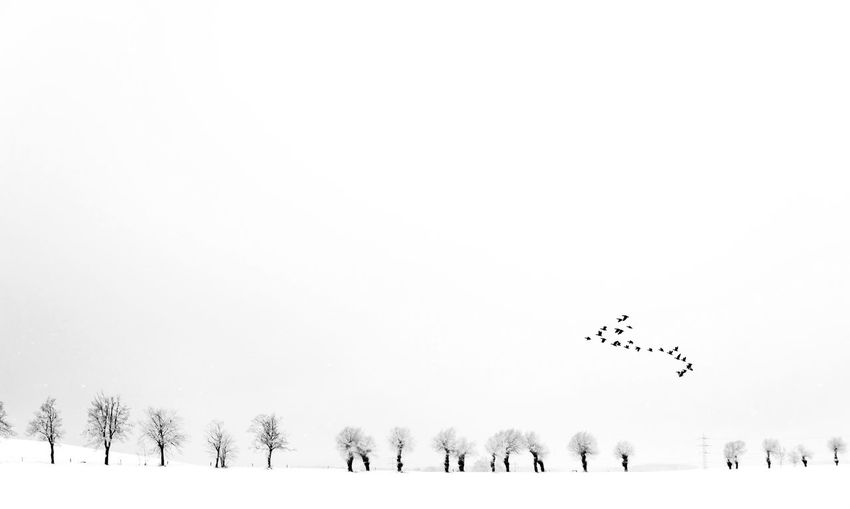 Birds flying over snow covered trees against clear sky