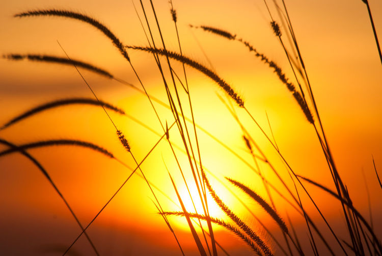 Close-up of wheat plants at sunset