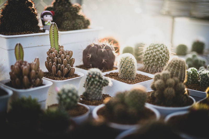 Close-up of succulent plants on table