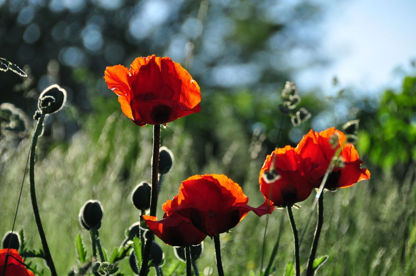 Nature Beauty In Nature Blooming Botanic Botanical Close-up Day Field Flower Flower Head Focus On Foreground Fragility Freshness Growth Light And Shadow Meadow Nature No People Outdoors Petal Plant Poppies  Poppy Red Springtime