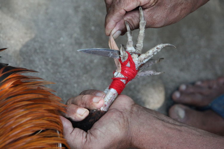 Cropped image of man holding rooster during cock fighting