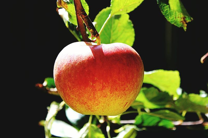 Fruit Food And Drink Freshness Food Healthy Eating Growth Close-up Tree Red Outdoors Nature Beauty In Nature Black Background Apple Apples Apples On A Tree Autumn Autumn Fruits September September 2017 September Sun Garden Garden Photography Garden Fruits Apple Pie