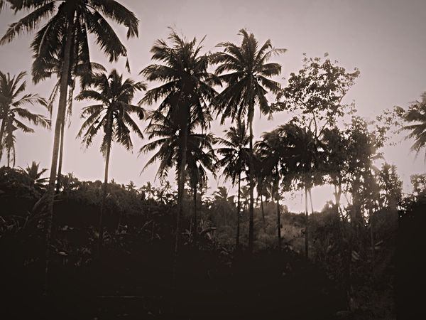 Blackandwhite monochrome photography Monochrome Tree Plant Growth Sky Tropical Climate Palm Tree Tranquility Beauty In Nature Nature Tranquil Scene No People Scenics - Nature Silhouette Land Outdoors Day Sunlight Landscape Field Non-urban Scene
