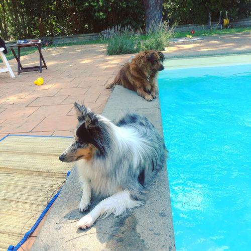 Dog looking at swimming pool