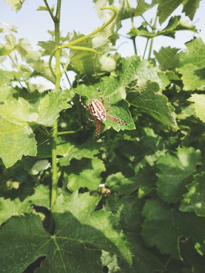 Vineyard Wine Nature Beauty In Nature Leaf Spider Web Close-up Green Color Plant Web Spider Arachnid