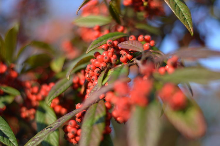 Beauty In Nature Berry Fruit Branch Close-up Day Food Food And Drink Freshness Fruit Growth Leaf Nature No People Outdoors Plant Red Rowanberry Tree
