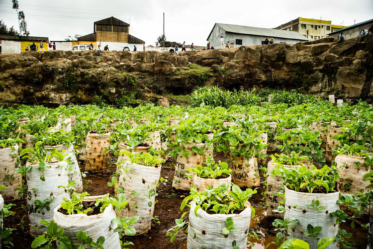 Green Kenya Nairobi Plants The Week On EyeEm Vertical Farm Affordable Agricultural Researchers Development Farming Food Freshness Highly Efficient Maize Sacks Mathare Slum Nature New Ideas No People Plant Plants And Garden Rural Farmers Slum Slum Farming Urban Farming Vegetable