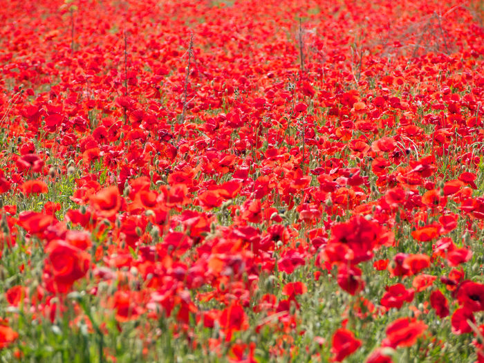 High Angle View Of Poppy Flowers Growing On Field