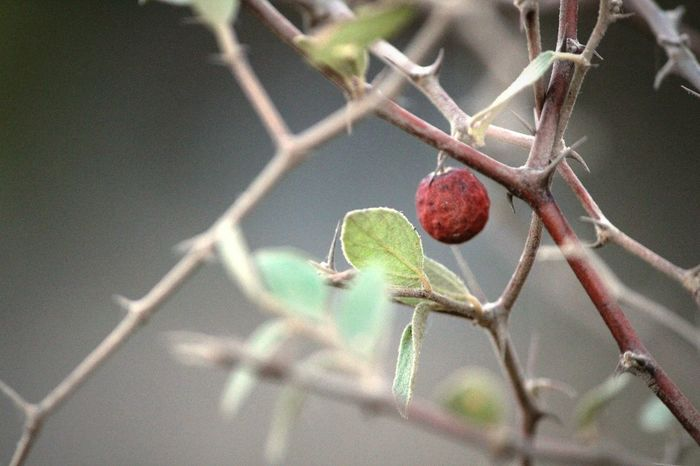Berry Red Berry Bushes Red Berry Bush Leaves Fruit Red Fruit Branches Dusty Dustyleaf Wallpaper Dusky Tree Dusk Twilight Nature No People Outdoors Day Dry Berry Plant