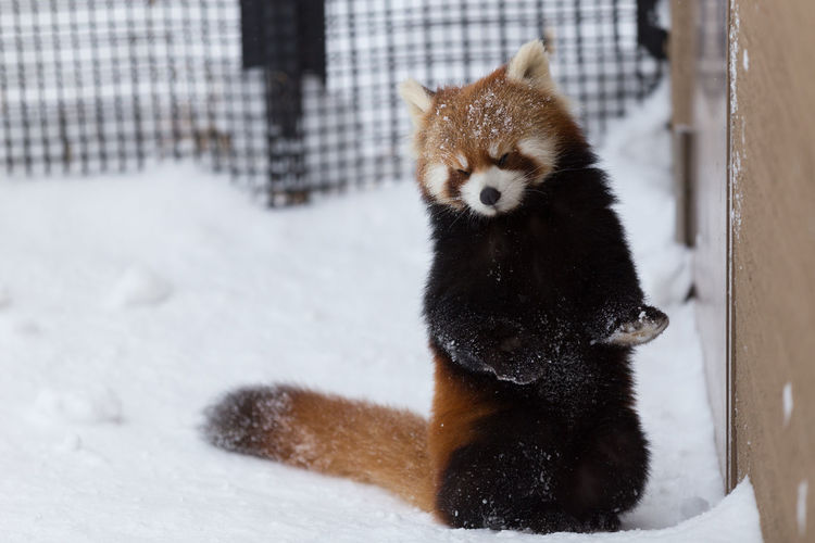 Close-Up Of Red Panda On Snow