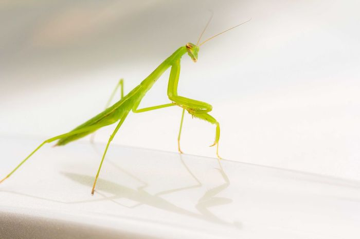 Close-up Insect Mantis
