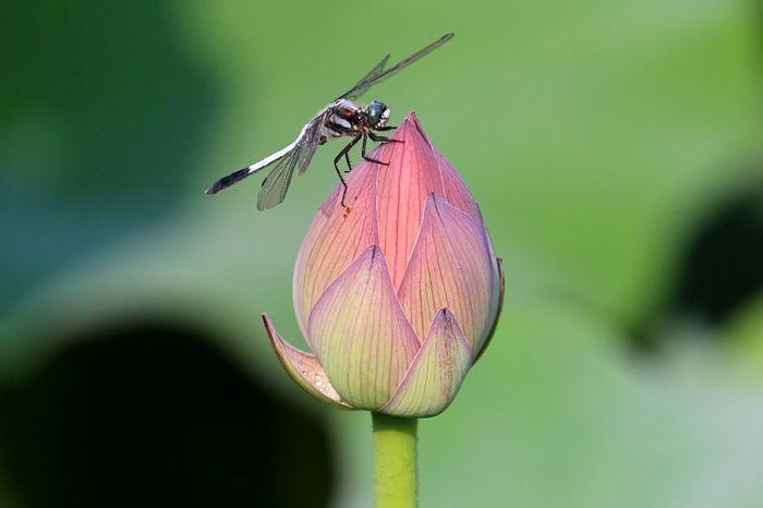 ひとやすみ トンボ 蓮 不忍池 Nature Flower