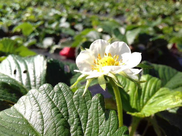 Flower Nature Beauty In Nature Flower Head Freshness Green Color Petal Plant Focus On Foreground Morangos Abundance Agriculture Photography EyeEmNewHere