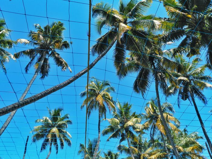 Coconut palm trees. View from low angle through the nets. Palm Tree Tree Low Angle View Growth Tall - High Tree Trunk Scenics Blue Clear Sky Tranquility Tranquil Scene Coconut Palm Tree Nature Sky Tropical Climate Beauty In Nature Tropical Tree Day Outdoors Green Color Kerala India Travel Destinations Cherai