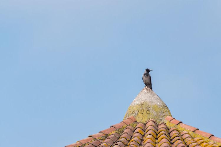 Roof Animal